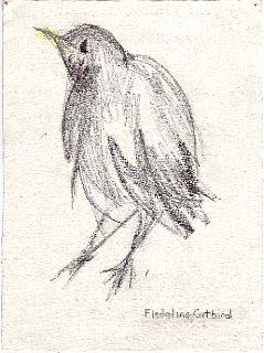 Fledgling Catbird #1